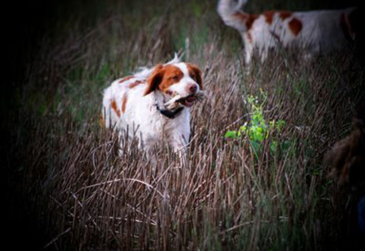 Chloe Tobenlee FoxN Around retrieving quail to Theo during the 2010 quail season