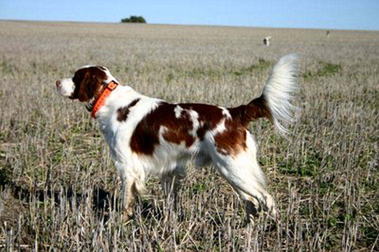 Tobenlee Zachery Ballou owned trained and very much loved by Maurizio Casadis Western Australia Zach  on point in a field trial